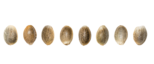 Close up from Cannabis Seeds