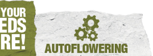 Get your autoflowering cannabis seeds here