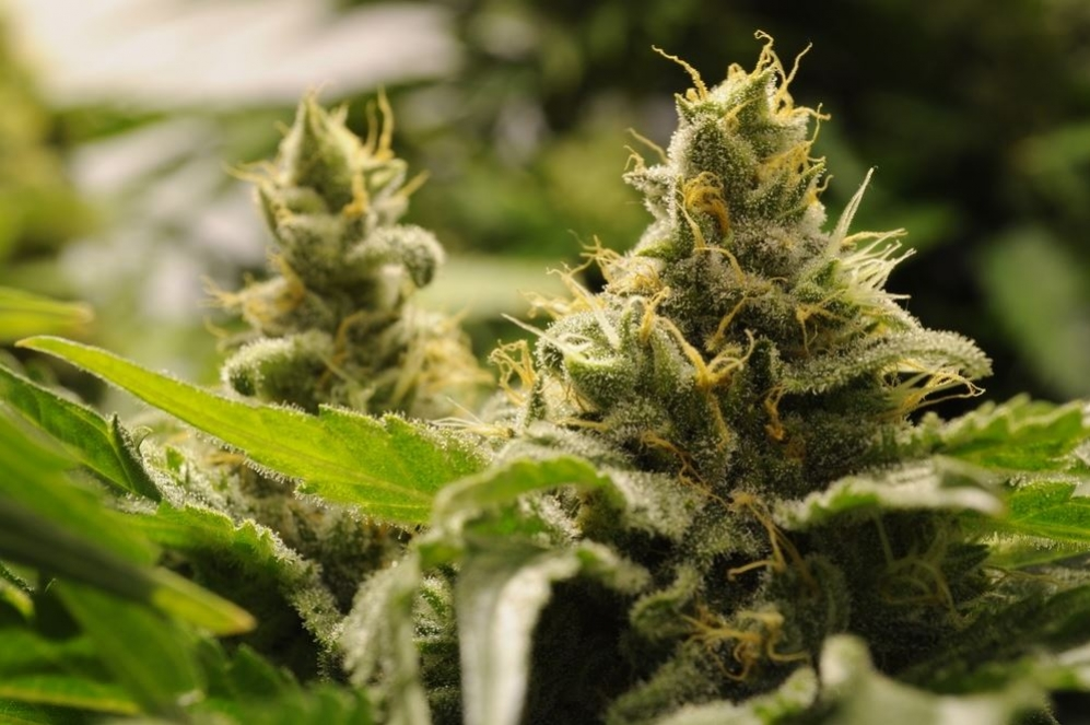 Top 5 Easy To Grow Autoflowering Strains