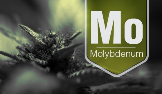 Molybdenum Deficiency In Cannabis Plants How To Deal With It