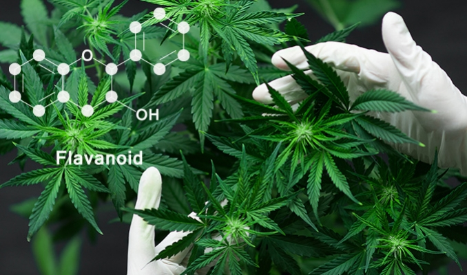 What Are Cannabis Flavonoids?
