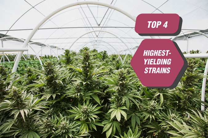 Top 4 Highest-Yielding Cannabis Strains From Zambeza