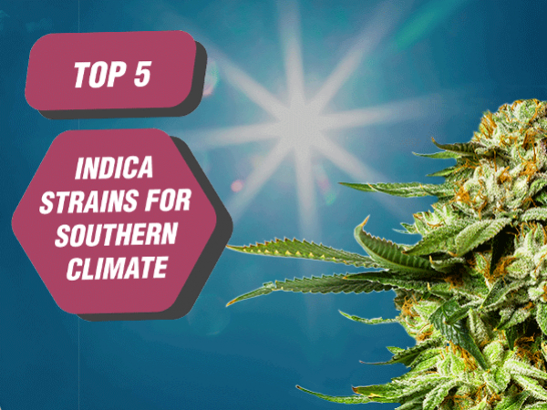 Best Indica Strains For Southern Climates