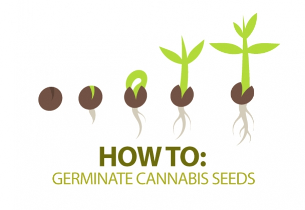 How To Germinate Cannabis Seeds