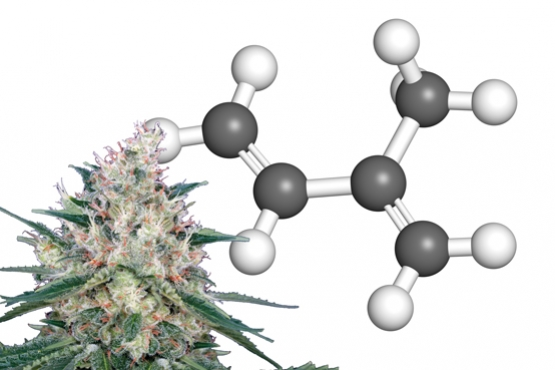 What Are Cannabinoid Terpenes?