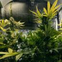 Using CO₂ To Increase Your Cannabis Yield
