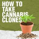 How To Take Cannabis Clones