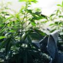 The Vegetative Phase Of Cannabis