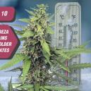 Top 10 Zambeza Strains For Colder Northern Climates