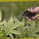 How And Why To Foliar Spray Cannabis Plants